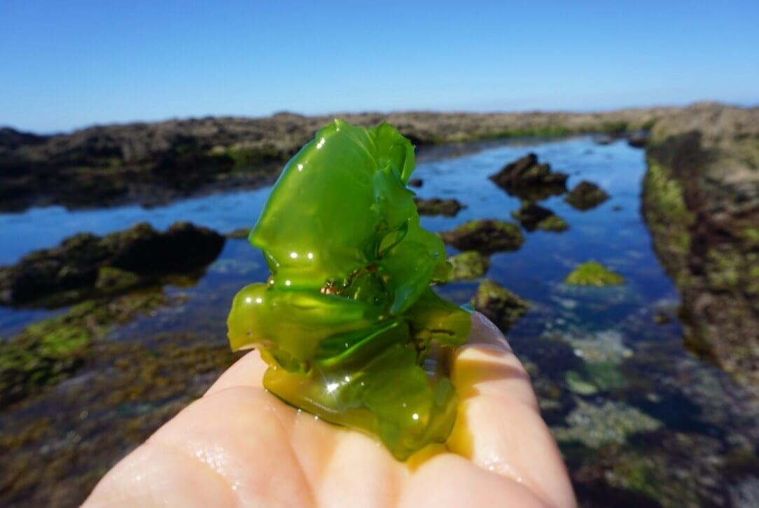 seaweed as foodsource